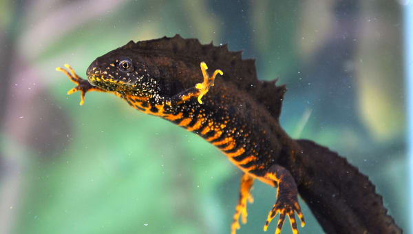 Great crested newt advice