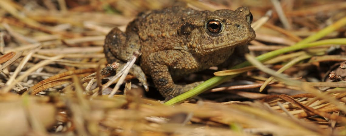 PhD on the decline of common toads in the UK