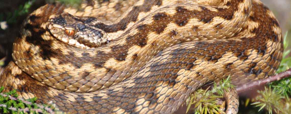 The Vanishing Viper: Priorities for adder conservation