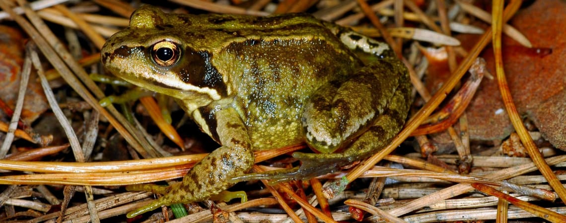 Where do frogs go in winter?