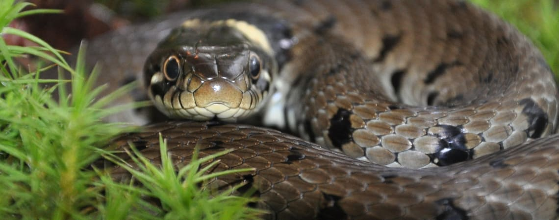 Snake fungal disease identified in wild British snakes for first time