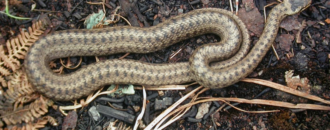 Saving species: Smooth snakes