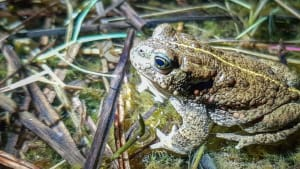 Join our Natterjack Toad monitors on the Sefton Coast