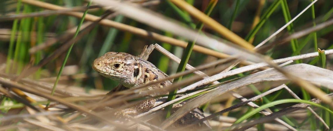 Scrub clearance for sand lizards in Sefton