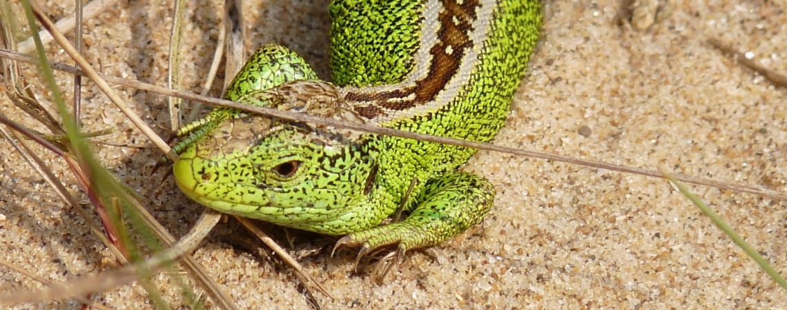Home-from-home for Britain's rarest lizard