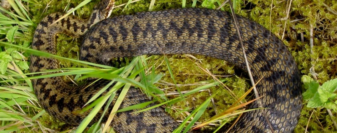 Snakes alive in Scotland? Appeal launched for records!