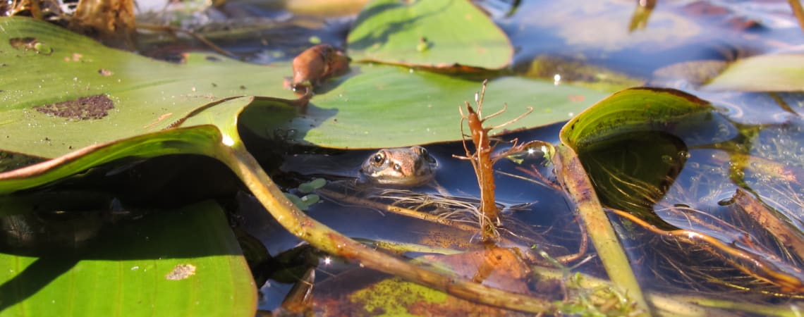 Breaking New Ground – Northern clade pool frog reintroduction project