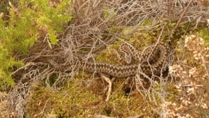 Facts and advice on adder bites