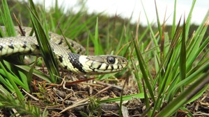 Where have all the grass snakes gone, or have I got worse at finding them?