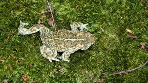 Targeted surveys for natterjack toads